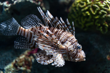 Wall Mural - Volitan Lionfish, Colored..(Pterois volitans)