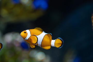 Wall Mural - Ocellaris Clownfish..(Amphiprion ocellaris) swimming