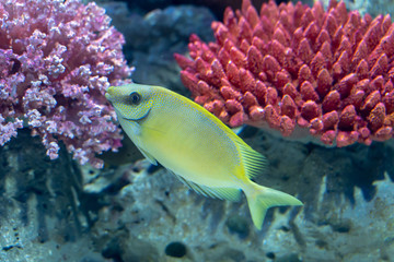 Wall Mural - Blue Spotted Rabbitfish..(Siganus corallinus)  swimming in reef tank