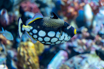 Wall Mural - Clown triggerfish (Balistoides conspicillum) swimming in artificial coral decorated tank