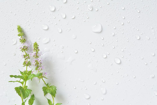 Mint flowers with water drops