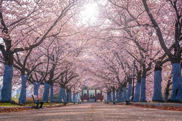 Cherry Blossom Tree At Olympic Park,Seoul South Korea
