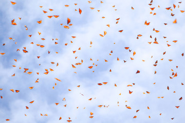 Natural summer background. Many monarch orange butterflies in a blue sky with clouds. Selective focus.