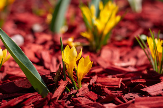 Bright yellow flowers on a red mulch flowerbed close-up. Beautiful mulching flower beds. Pine chips mulch on a flower bed close-up.
