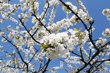 White cherry tree blossom in springtime against blue sky