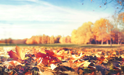 Fototapete - Beautiful bright autumn nature landscape with golden yellow and inforeground orange fallen leaves glows in sun on background of blue sky with white cirrus clouds, copy cpace.