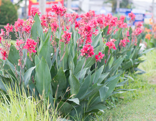 Beautiful Canna L. flowers. Cannaceae family