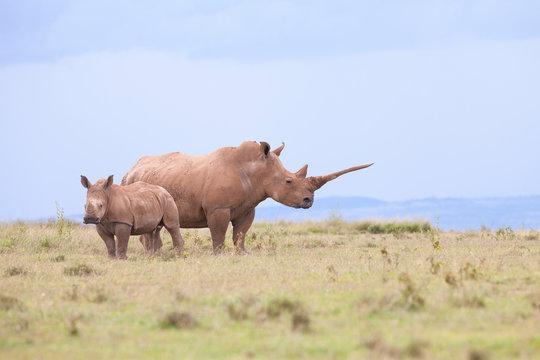 rhino in the field