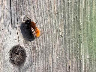 Die Fuchsrote Lockensandbiene, Andrena fulva, liebt die Blüten der Johannisbeeren. Diese sollten in keinem insektenfreundlichen Garten fehlen