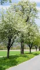 Wall Mural - country road with springtime trees with white blossoms