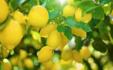 Yellow lemons on lemon tree, bright sun shines through green leaves Fototapete