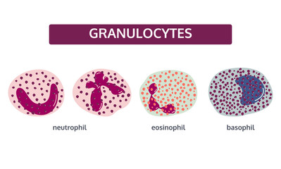 Vector set of white blood cells - granulocytes. Basophil; eosinophil; and neutrophil. Medical concept in flat style on white background.