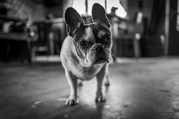 A cute old french bulldog