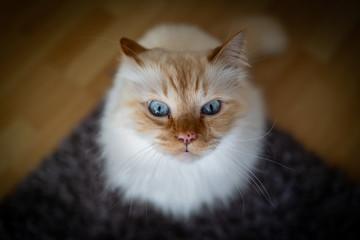 A cute Sacred Birman cat