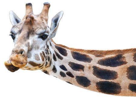 lustige Giraffe guckt quer ins Bild - isoliert