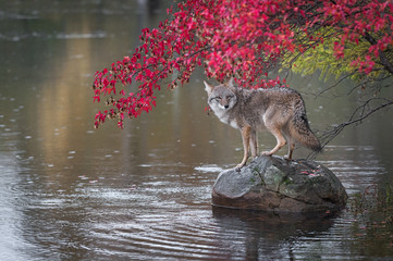Wall Mural - Coyote (Canis latrans) Looks Back From Atop Rock Autumn