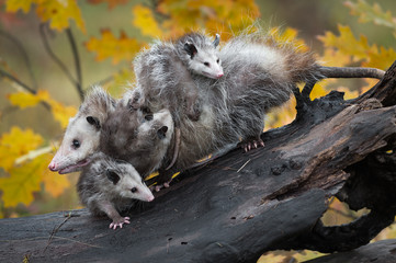 Fotomurales - Opossum (Didelphimorphia) Piled High with Joeys Autumn