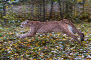 Wall Mural - Cougar (Puma concolor) Runs Left Full Out Autumn