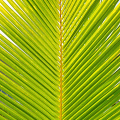 Coconut palm leaves. Background