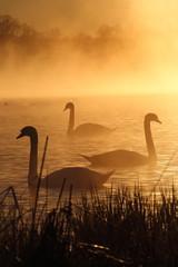 Photo sur Toile Cygne Schwäne in der Morgensonne
