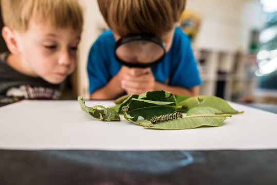 Two boys observing monarch caterpillars with magnifying glass