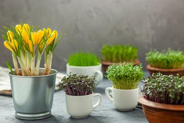 Rośliny w filiżankach - uprawa rzeżuchy, czerwonej kapusty, trawy i krokusy