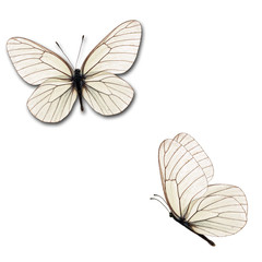 two white butterfly