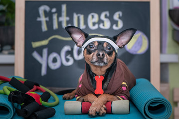 Pet Fitness , sport  and lifestyle concept.  Funny dog ​​in sportswear in training, portrait  in studio surrounded by sports equipment