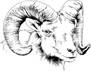 mountain sheep with horns ink-drawn sketch by hand, objects with no background