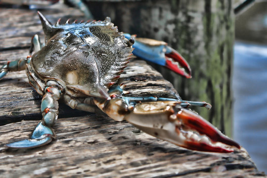 A live crab looks out at the ocean from a dock in Florida