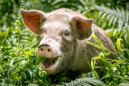 A happy pig on the island of Bougainville, Papue New Guinea