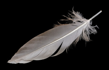 A small duck feather lies on a black table isolated