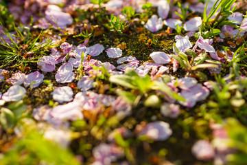 散った桜の花びらと地面 Wall mural