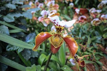 Paphiopedilum henryanum