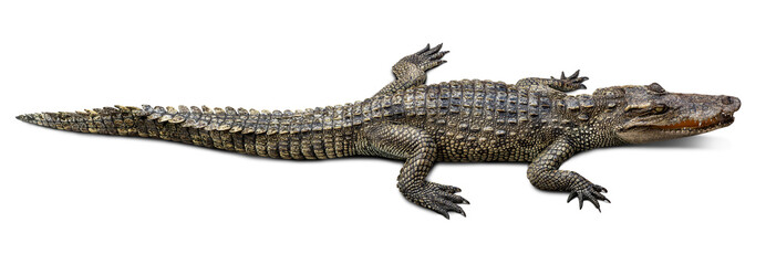 Wildlife crocodile isolated on white background with clipping path