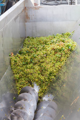 Freshly harvested hanepoot grapes in a mechanical grape crusher or grape press at the cellars during white wine production
