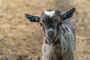 Small baby goat portrait