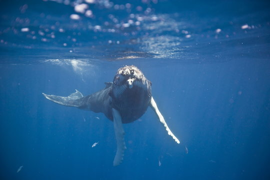 Humpback whale underwater in the Caribbean
