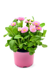 Daisy flowers (Bellis perennis) in flowerpot at white isolated background.