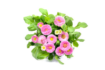 pink Daisy flowers (Bellis perennis) in flowerpot at white isolated background. top view