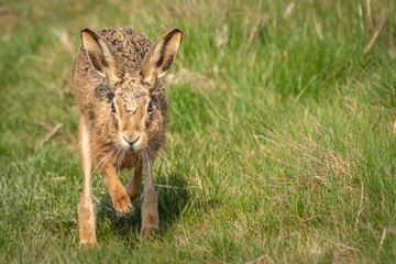 Fototapete - European Brown Hare Running