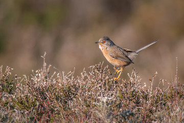 Fototapete - Dartford Warbler UK Wild Rare