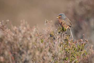 Fototapete - Dartford Warbler perched rare UK bird