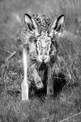 Fototapete - European Brown Hare Running in black and white