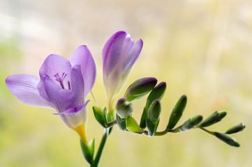 Beautiful background with purple freesia flowers