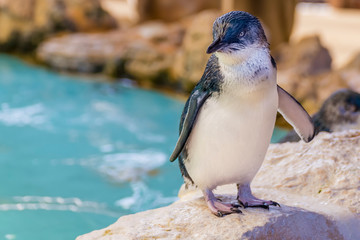 Beautiful Australian penguin standing near the water at Penguin Island, Rockingham, Western Australia