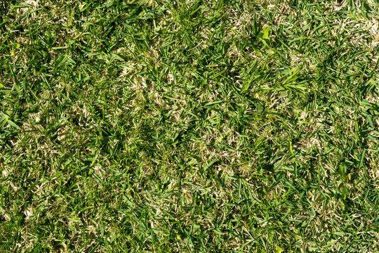 St. Augustine grass background