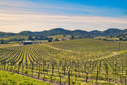 Vineyard in Sonoma County, CA.