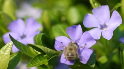 Wall Mural - Blooming spring flowers of vinca minor and bee