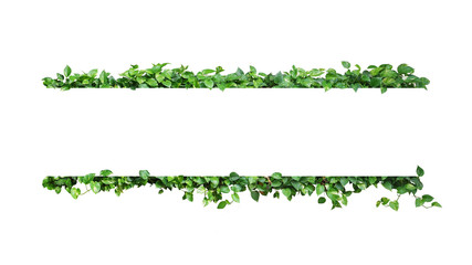 Wall Mural - Green variegated leaves nature frame border of devil's ivy or golden pothos the tropical foliage plant on white background.